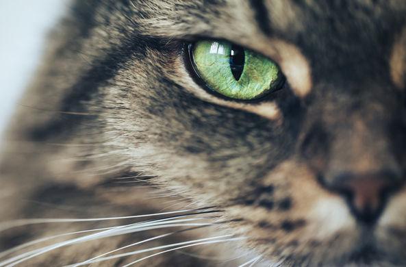 Приморская кошка стала мамой для енотов