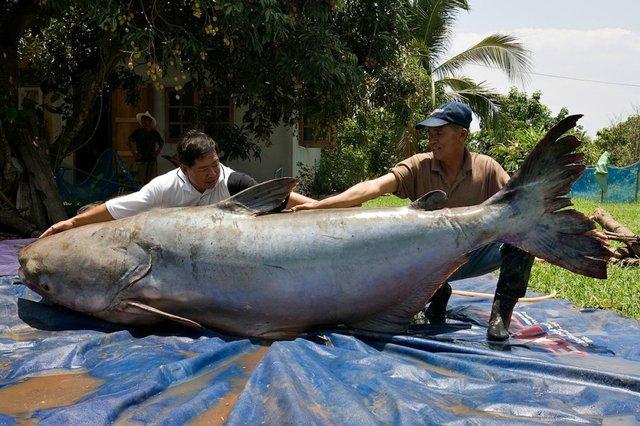 Жители Таиланда спасли самого огромного сома, которого вы когда-либо видели