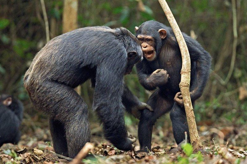 Ученые обнаружили сходства между языком шимпанзе и человека