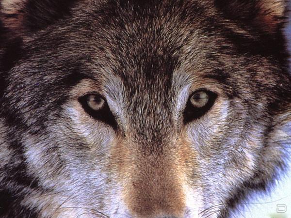 Но волк не уходит...он повода ищет!