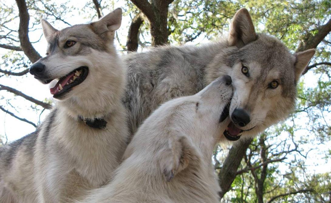 Как завести домашнего волка