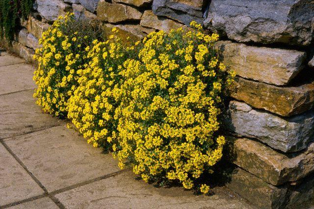 Цветок Алиссум желтый Горное Золото, семена Интернет-магазин RUScemena.ru
