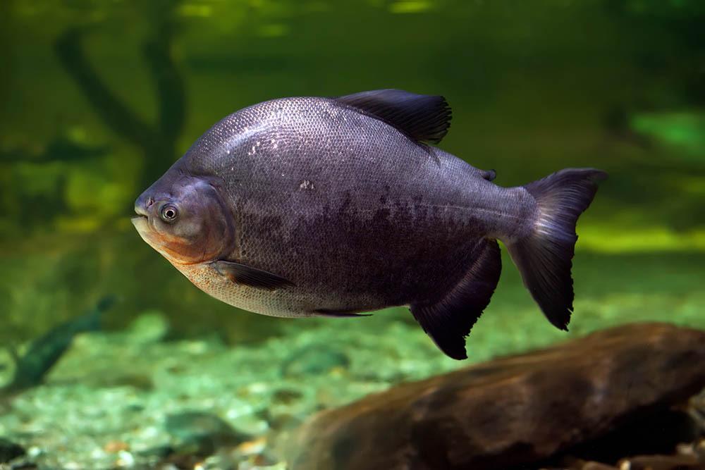 Пираньи-вегетарианцы — удивительные рыбы из Амазонии