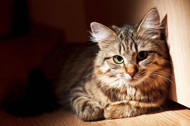 кошки породы