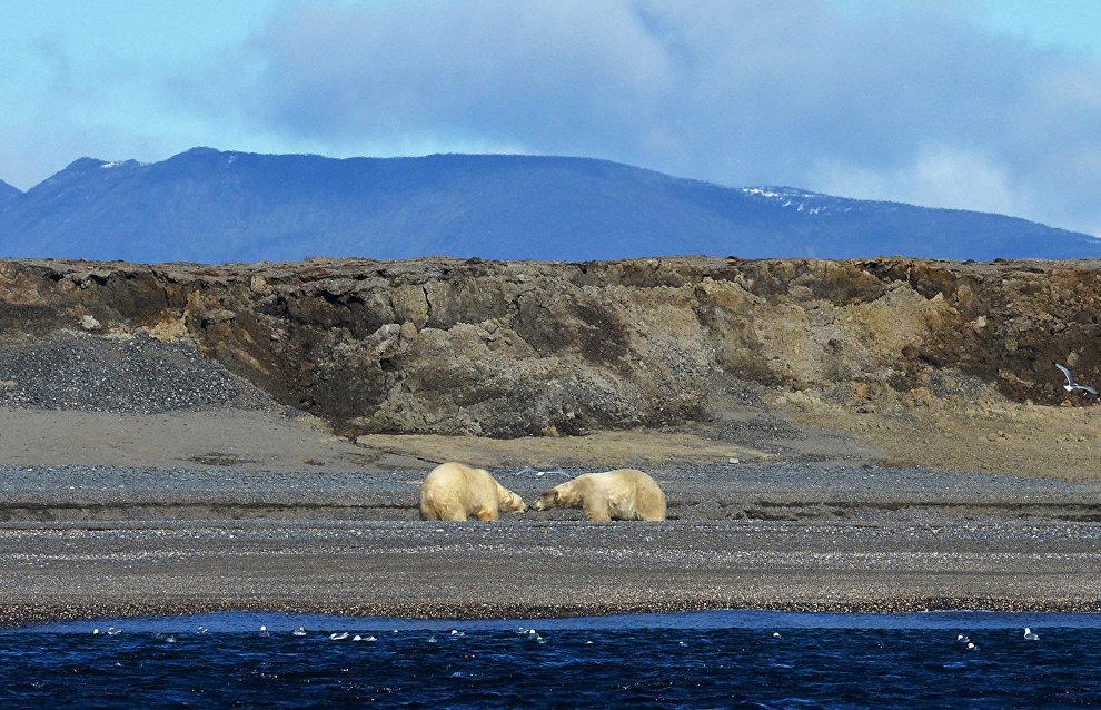 Белые медведи вынуждены охот…