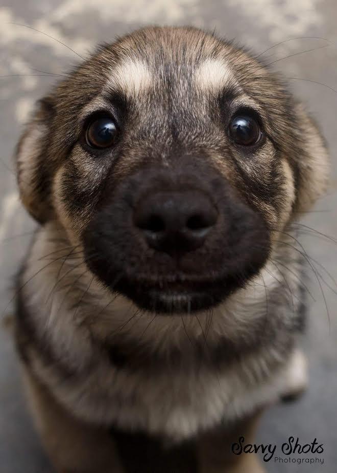 Картинки по запросу german shepherd puppy eyes