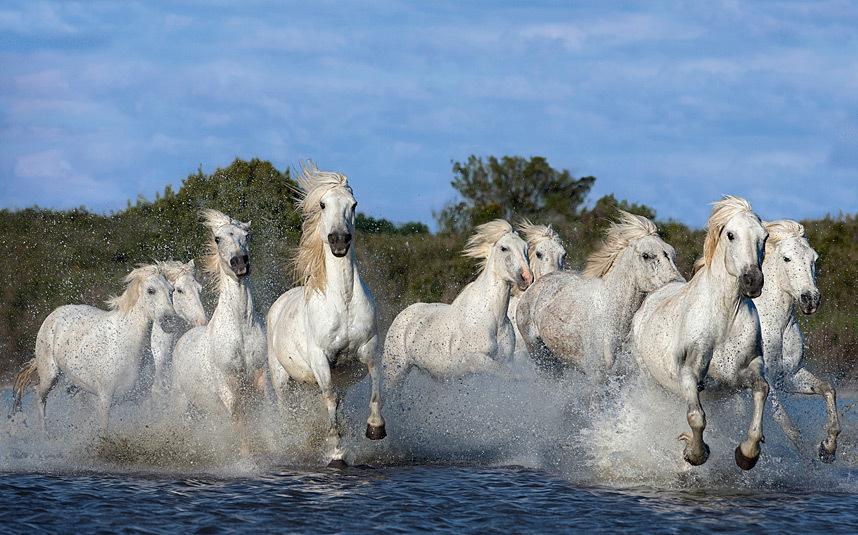 Камаргские лошади
