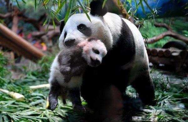 Смотрите как панда ласково нянчит своего детеныша