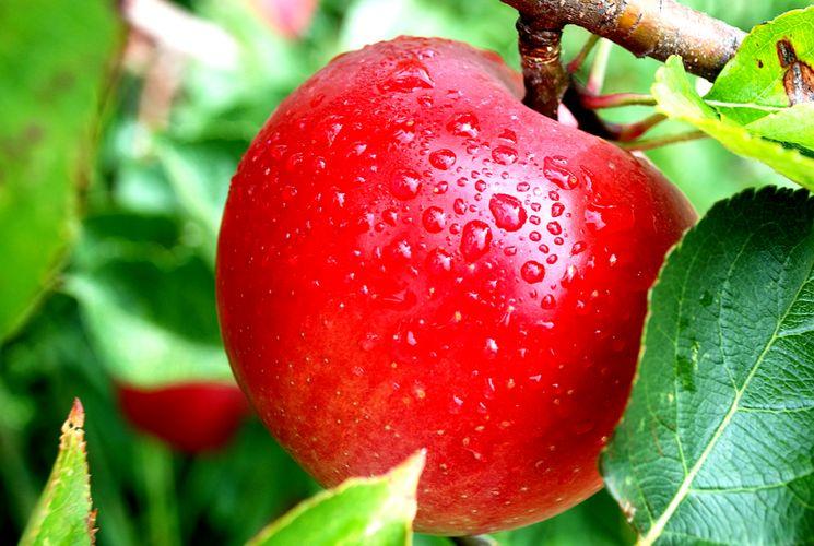 Что нужно знать про яблоки — роль яблок в правильном питании