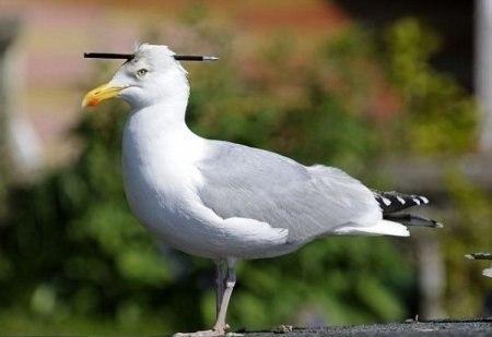 Чайка с пробитой головой