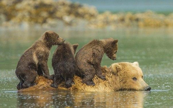 Медвежата пересекают реку на спине своей матери