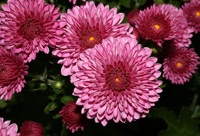 Цветы розы - объявления цветы розы
