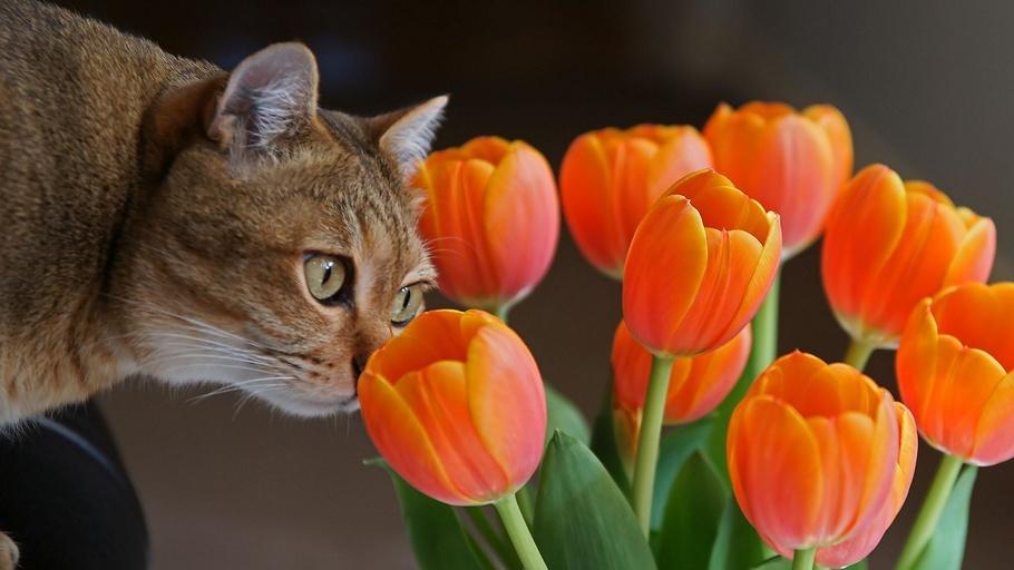 тюльпаны, цветы, Кот, любопытство