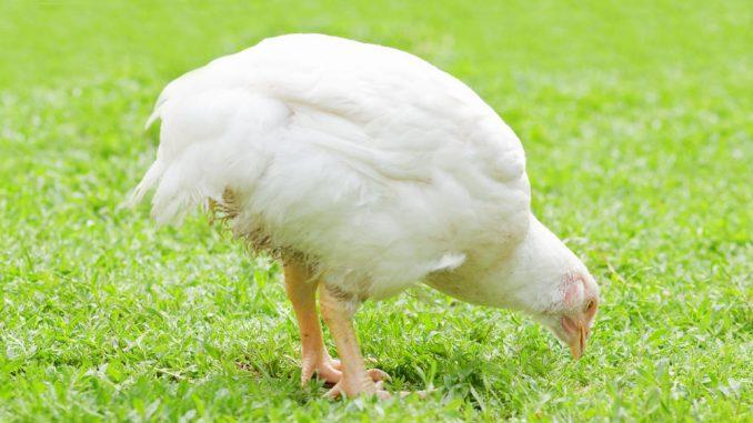 Корм для бройлеров. Как вырастить цыплят выгодно.