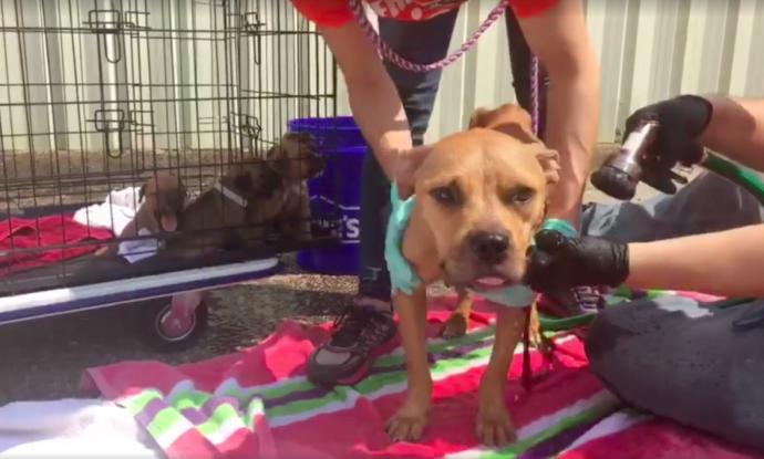 Великая сила материнского инстинкта! Мама-собака принесла щенят на крыльцо дома, чтобы люди спасли их от смерти