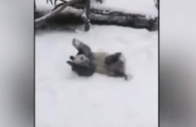 Валялась в сугробах и забиралась на ель - Панда как ребенок радуется снегу!
