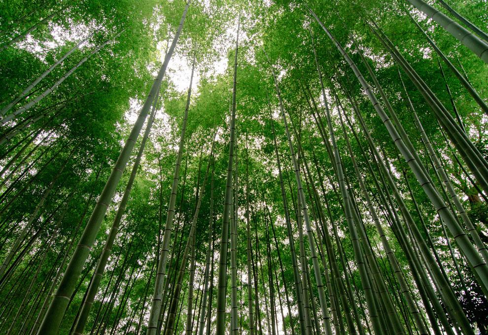 Прогулка по знаменитой бамбуковой роще Японии