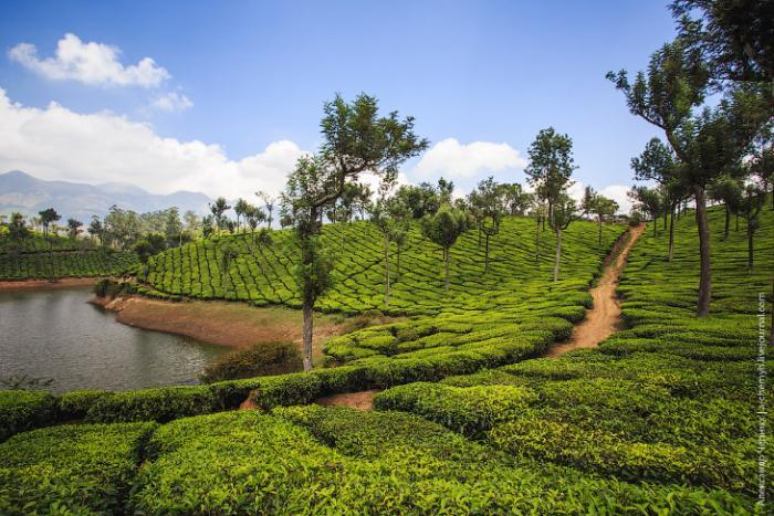 Красота индийских чайных пла…