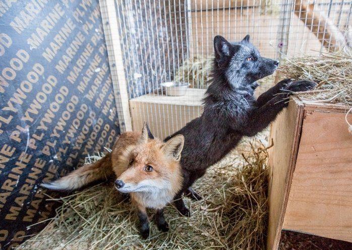 Во Владивостоке чёрная лиса сбежала из дома и попала на зуб к собакам
