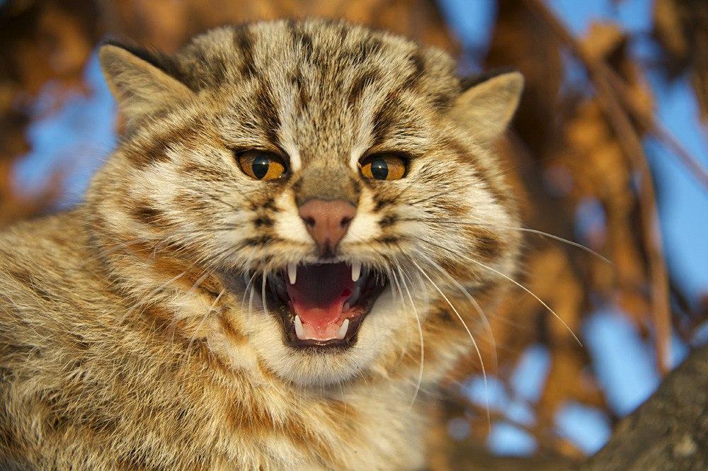 Амурский  красавец лесной кот