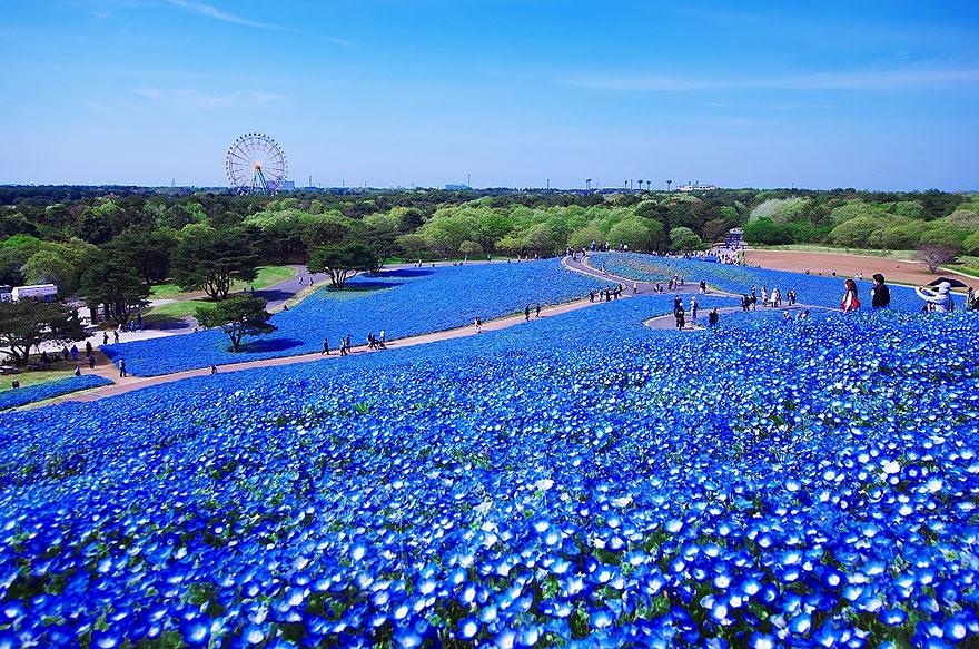 nemophilas-field-hitachi-seaside-park-7
