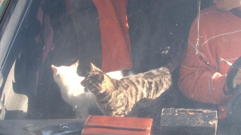 В Челябинске спасли двух кошек, которых хозяева в наказание на неделю заперли в автомобиле
