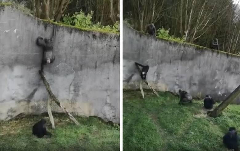 В зоопарке Белфаста шимпанзе…