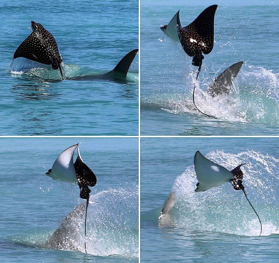 Спасительный полет ската, которого пыталась съесть акула