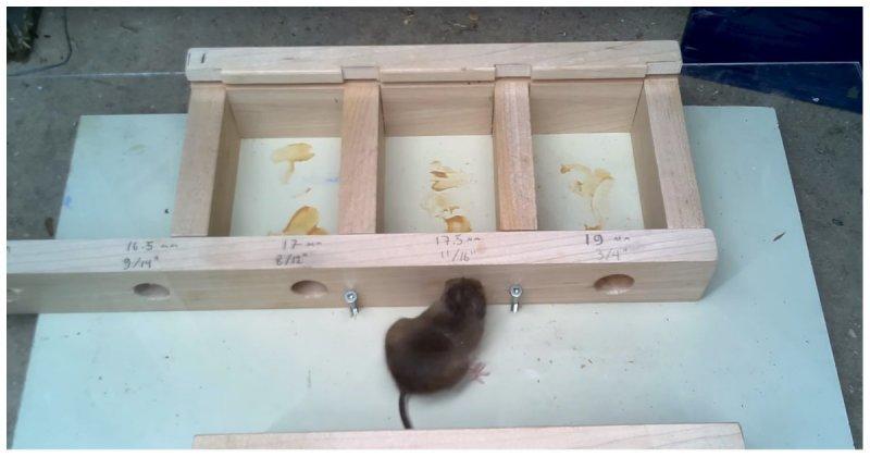 Эксперимент: в сколь малое отверстие способна пролезть мышь