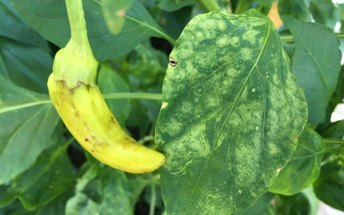 Пятна на листьях перца и баклажанов – почему появляются и что делать