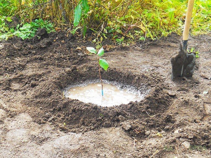О посадочных ямах для саженцев