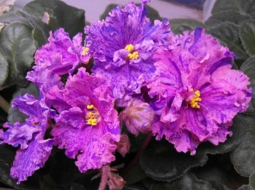 Как добиться яркого и пышного цветения фиалки?