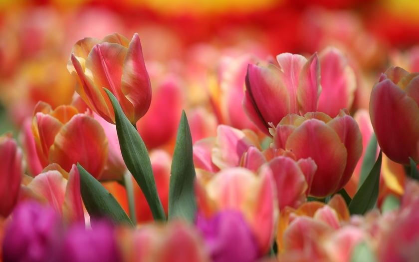 розовое поле, тюльпаны