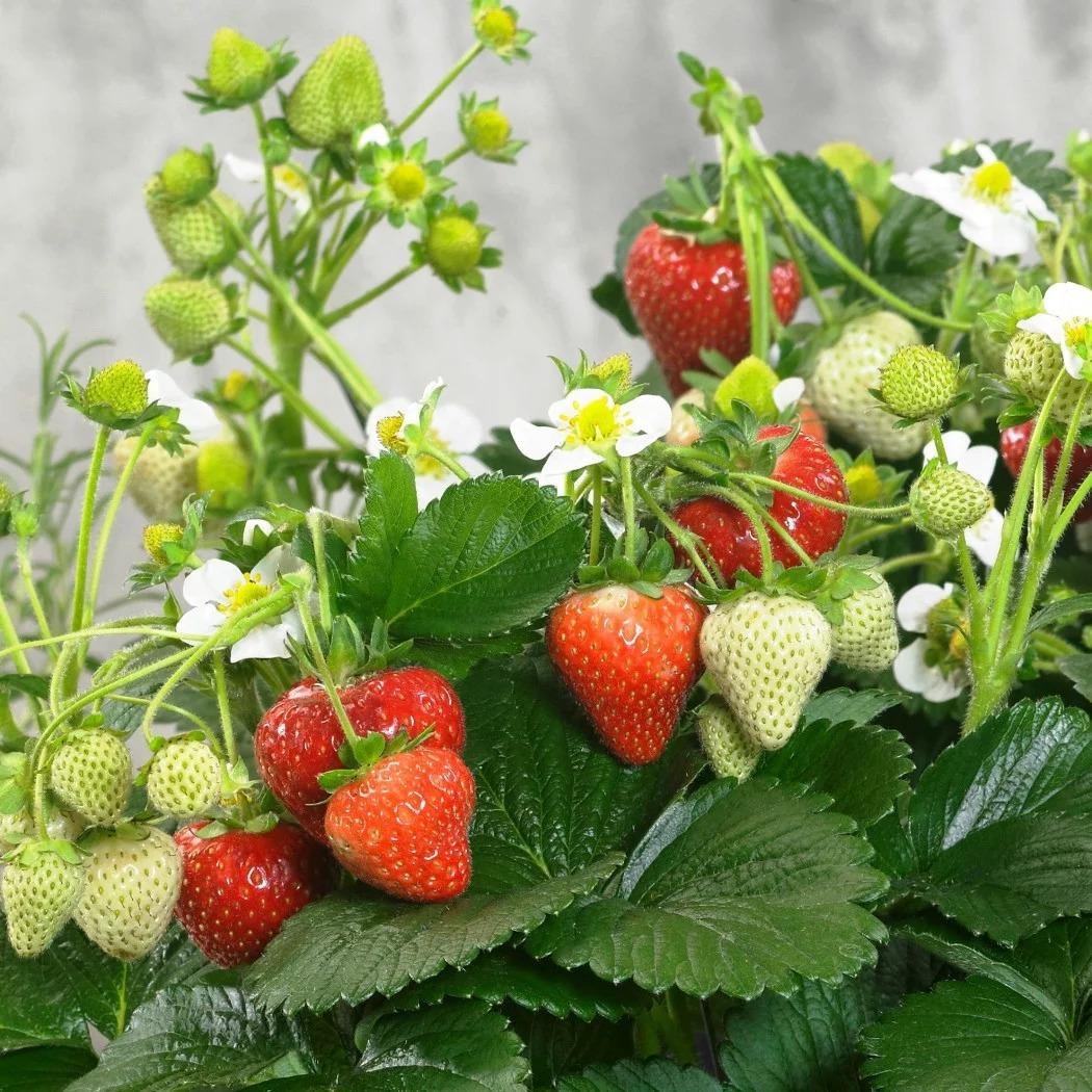Шесть секретов выращивания земляники