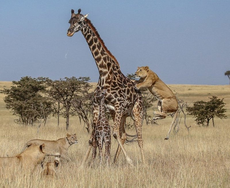 Борьба за выживание: стая львов против семейства жирафов