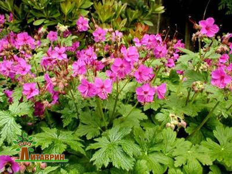 Садовое: пара лилейников, герани Пленум и крупнокорневищная, шалфей, ива ХакуроНашики, перец, лук голубой, сирень - Все о комнат