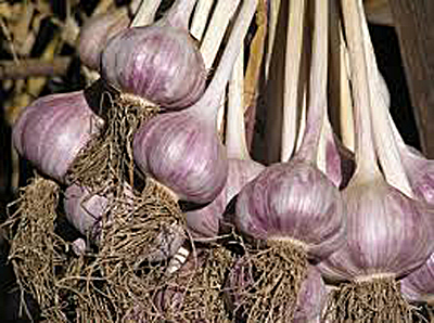 http://www.seedparade.co.uk/news/wp-content/uploads/2012/10/07-Drying-Garlic.jpg