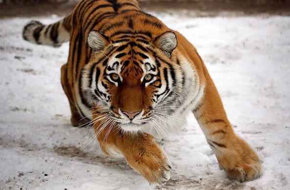 Дальневосточные биологи рассказали о тигрином «любовном» треугольнике