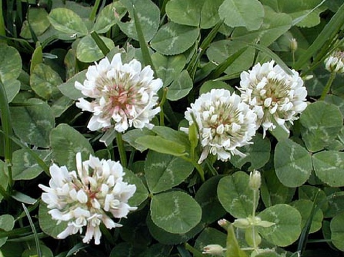 Мир Мистики * Клевер (Trifolium)