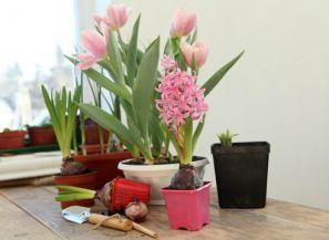 Как вырастить луковичные цветы в домашних условиях