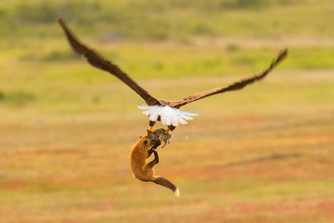 Эпичная схватка лисы с орлом: звери не поделили несчастного зайца