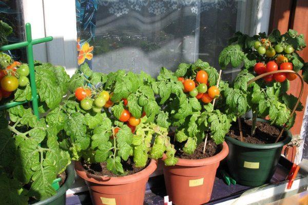 Почему помидоры не хотят расти на подоконнике