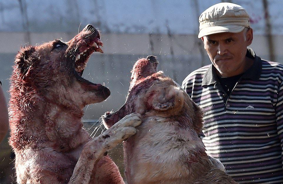 Жестокое развлечение: собачьи бои в Кыргызстане