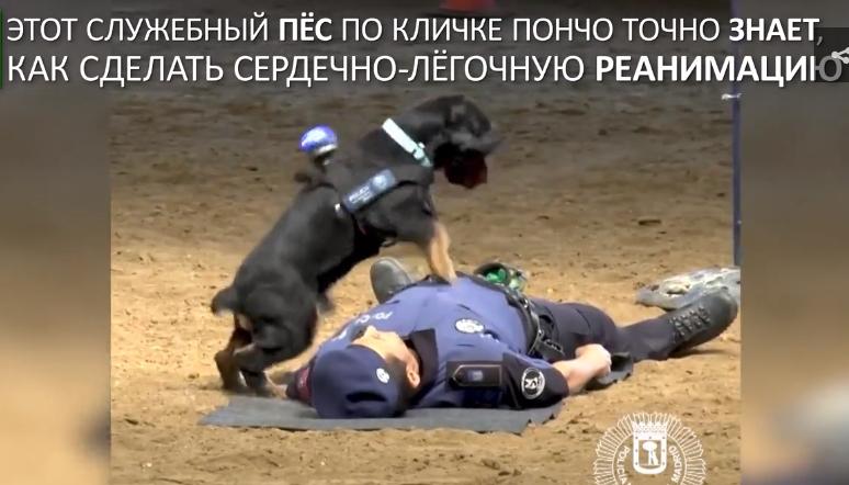 Пёс Пончо делает напарнику с…