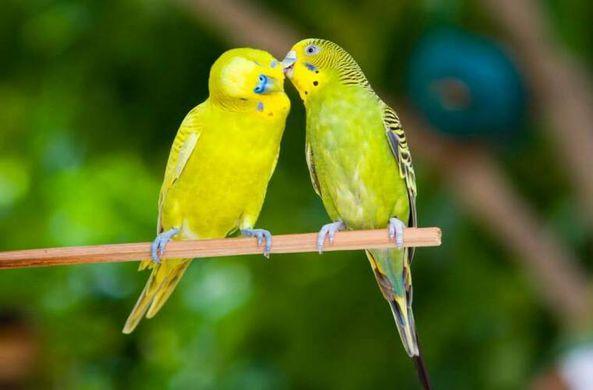 Ученые выяснили, что самки волнистых попугаев предпочитают умных самцов