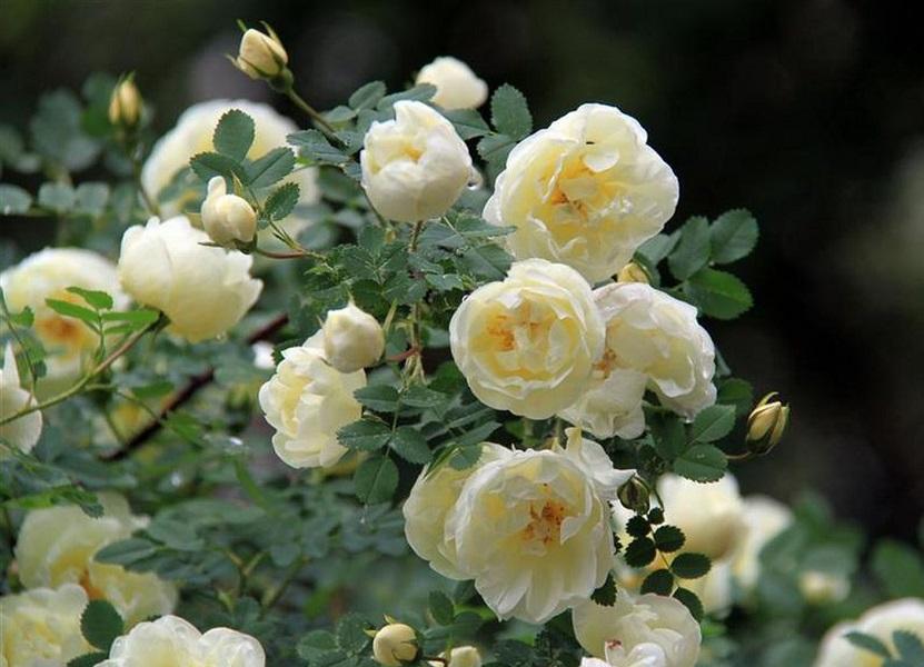 Чайная роза: посадка, уход, популярные сорта