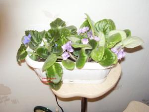 Как выращивать фиалки