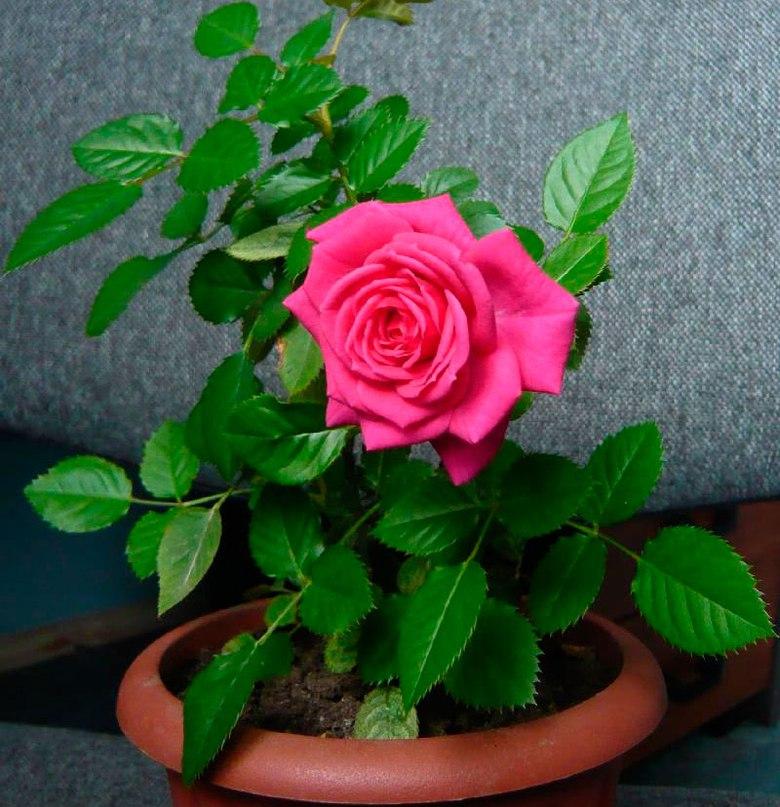 Комнатная роза.
