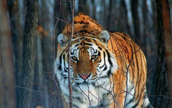 Тигр остановился, заметив в нескольких метрах от себя молодого егеря. Чем закончилась встреча человека и дикого зверя?