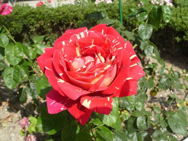 Роза сорт Пестрая Фантазия